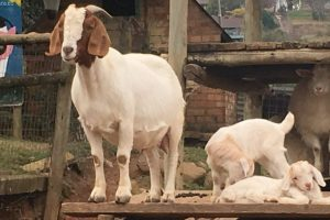 Animal Farmyard-image-4